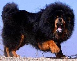 Çin'de, Tibet Mastifi cinsi 80 kiloluk 'Hong Dong' adlı köpek, 2.4 milyon TL satılarak, dünyanın en pahalı köpeği oldu.