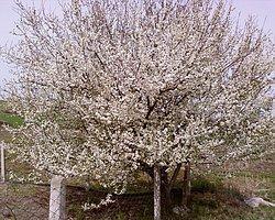 Mevsim Anormallliklerinin Sonucu: Ekim'de Erik Ağaçları Çiçeklendi