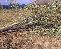 Kolin Şirketi 'Ağaç Katliamı'nı Savundu: Her Şey Hukuka Uygun