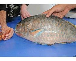 Akdeniz'de Zehirli Balıkların Sayısı Hızla Artıyor!