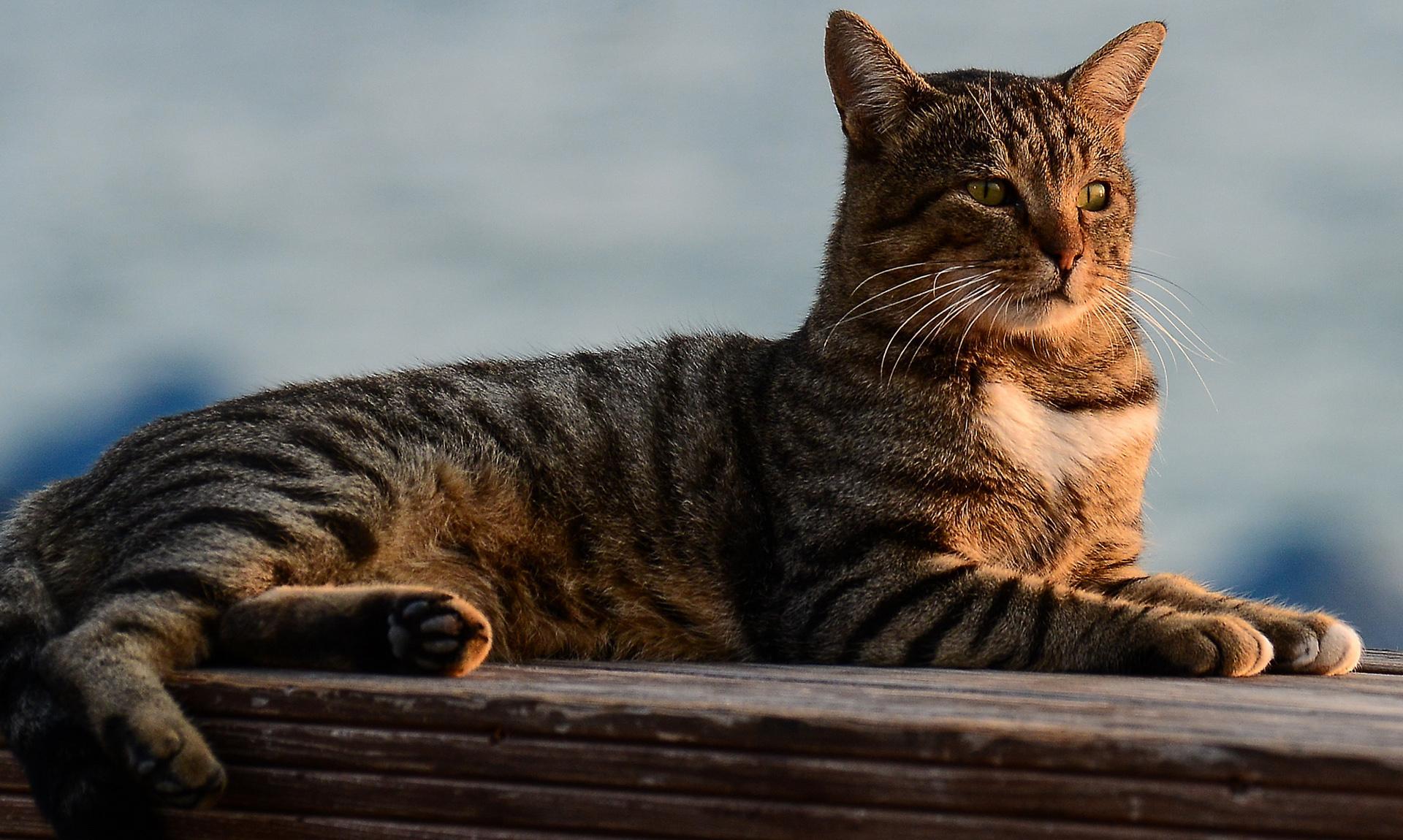 Egzotik kedi - senin büyüleyici favori