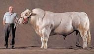Sığır Irkının Spor Salonunda Vücut Çalışmış Üyesi: Belçika İneği