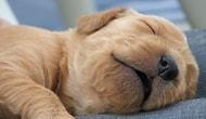 Rüya Gören Birbirinden Tatlı 10 Köpek