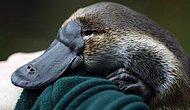 'Ornitorenk Hayvanının' Sırf Varlığıyla Bize Anlatmak İstediği 15 Şey