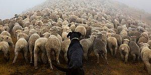 Evcil Dostlarına Kıyasla, Zor Görevlerin Üstesinden Gelen 11 Köpek Türü