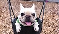 Şirinlikleri İnsanın Başını Döndürebilecek Cinsten Olan En Tatliş 11 Bulldog