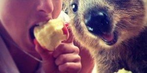 Avustralya'nın Yeni Trendi, Dünyanın En Neşeli Hayvanı Quokka ile Selfie