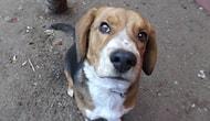 12 Maddede Beagle'lar