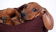 Evde Beslenebilecek En Tatlı 10 Küçük Köpek Cinsi
