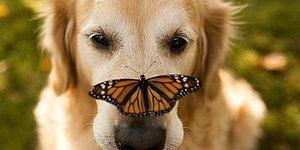 Golden Retriever'ın Her Haliyle Sevimli Olduğunu Kanıtlayan 23 Şahane Fotoğraf