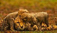 İnanılmaz Güçlere Sahip 18 Hayvan