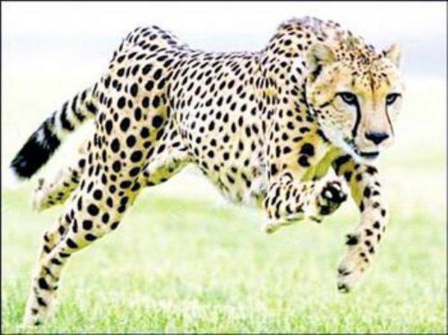 1. Çita !
