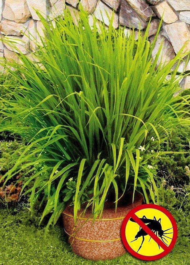 14. Limon çimi dikerek, sivrisineklerden doğal yollarla kurtulun.