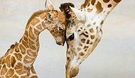Bakarken Kalbinizi Eritecek, Hayvanların Aile Yaşamlarından 24 Fotoğraf