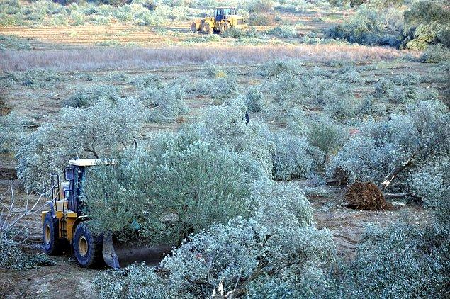 6 bin 600 zeytin ağacı kesilmişti