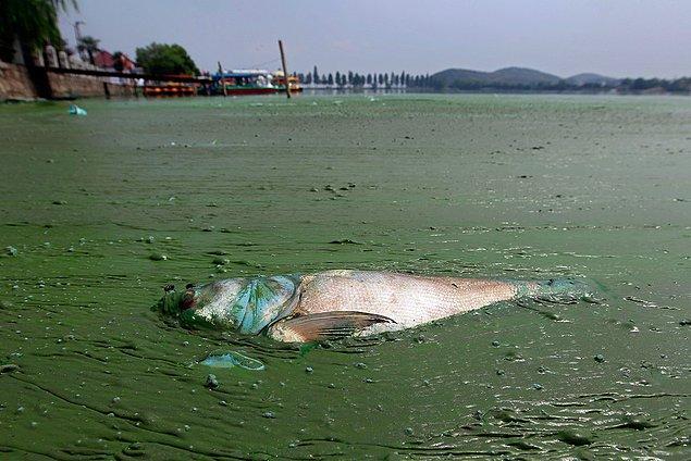 14. Çevre kirliliğinden dolayı İngiliz nehirlerindeki balıkların yaklaşık üçte birinin cinsiyeti değişmiştir.