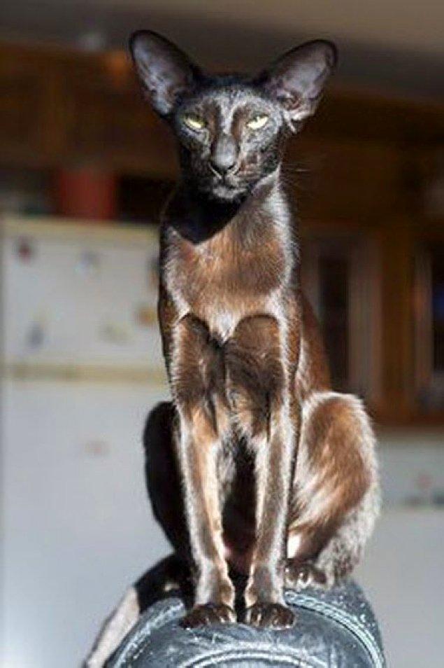 Antik Mısır da kediler kutsal sayılırdı ve onları öldürmek ceza ile sonuçlanılırdı