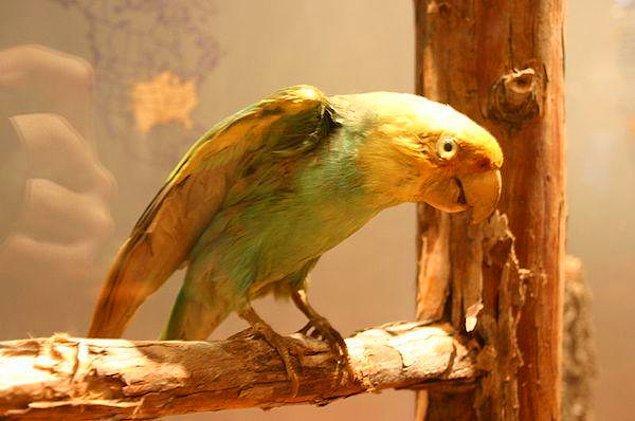 9. Carolina Papağanı