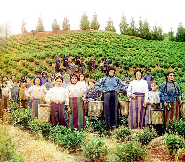 15. Çay hasadı (1905-1915)