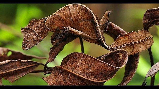 5. Yaprak Kuyruklu Geko