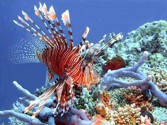 16. Akrep Balığı