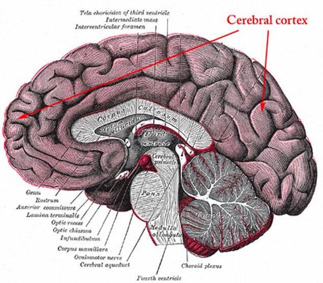 3. Serebral Korteks