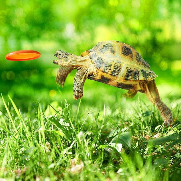 14. Evcil kaplumbağa