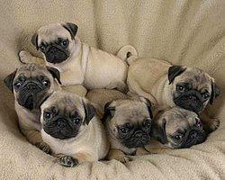 Köpekler Arasında en çok istenilen bir o kadar da dikkat çeken şapşik köpek Pug