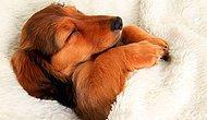 Yatağınızı işgal edip sizi yerde yatıracak 10 uykucu köpek