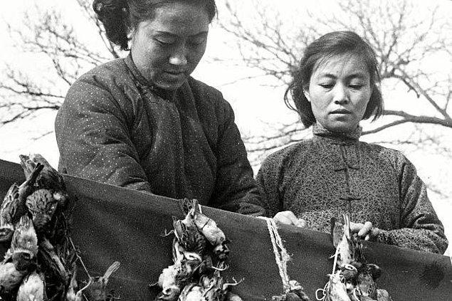 11. Çünkü ülkede zararlı böcekleri yemesi beklenen serçelerin soyları neredeyse tükenmişti.