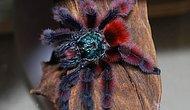 Tarantula Dünyasına Ufak Bir Gezinti