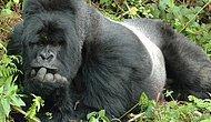 Gorillerin Günlük Olaylara Tıpkı Bizim Gibi Tepkiler Verdiklerinin 15 Kanıtı
