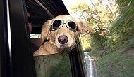 Camdan Kafa Çıkarmalı Püfür Püfür Araba Yolculuğunun Hastası 18 Köpek