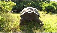 Belgesel Çeken Adam Dev Kaplumbağayı Kızdırdı