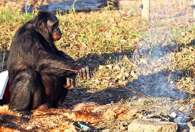 Dr Sue, insan evriminde ateşin en önemli faktörlerden biri olduğunu bu yüzden Kanzi'nin ateş yakma becerilerinin bizi yakından ilgilendirdiğini belirtiyor.