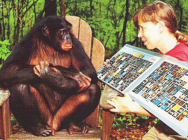 Dr. Sue ve ortağı primatolog Liz Pugh, Kanzi ve merkezde bulunan diğer iki maymuna, iletişim için sembollerden oluşan kağıtları kullanarak dil eğitimi verdi. Farklı kelimeleri yansıtan semboller, maymunların kendi akıllarıyla konuşmasına yardımcı oluyordu.