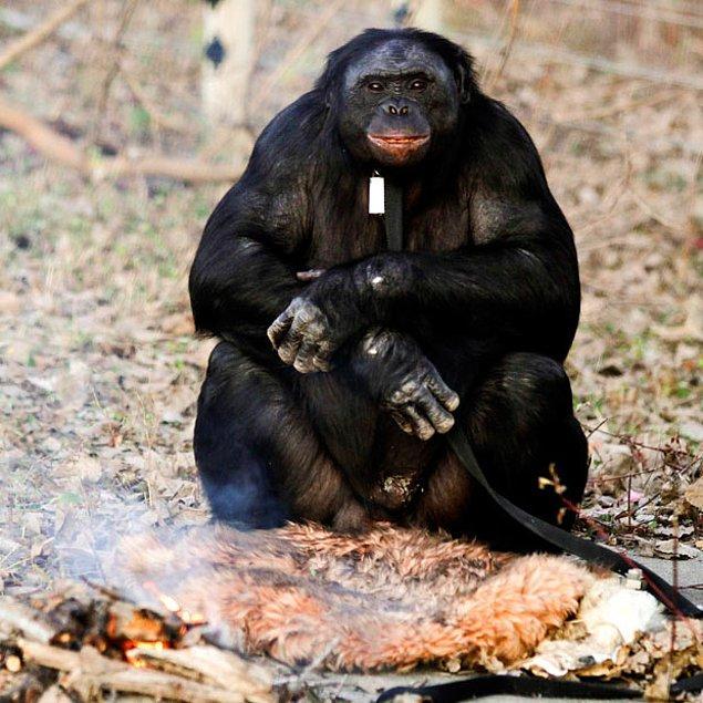 Yalnızca Kongo Demokratik Cumhuriyeti'nde yaşayan bonobolar, 'IUCN Red List' tarafından nesli tükenmekte olan hayvanlar arasında gösterildi ve habitatları, insanlar tarafından mahvedildiği için son otuz yıl içinde nüfusları hızla azaldı.