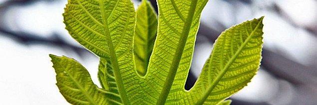 2. İncir Yaprağı Falı