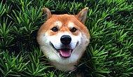 Çalılara Sıkışıp Her Şey Yolundaymış Gibi Davranan Cool Köpek