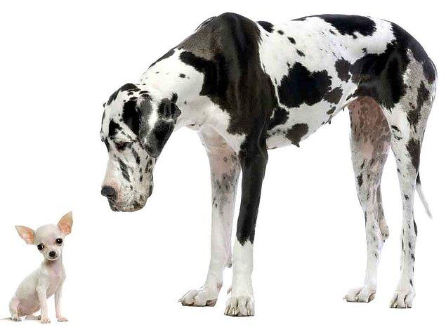 Bu evcil 400 köpek ırkı tamamen aynı türe mensup: Canis Familiaris.