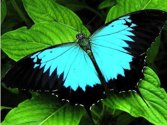 2. Ulysses Kelebeği