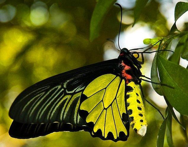 5. Goliath Birdwing Kelebeği