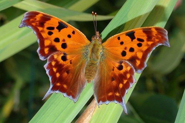 6. Question Mark (Soru işareti) Kelebeği