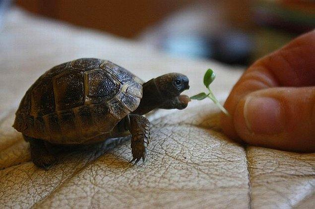 6. Bebek Kaplumbağalar