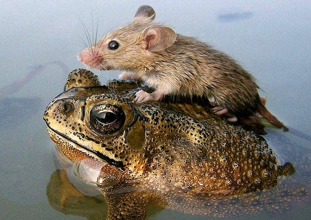 7. Kurbağaya Binen Bu Tarla Faresi