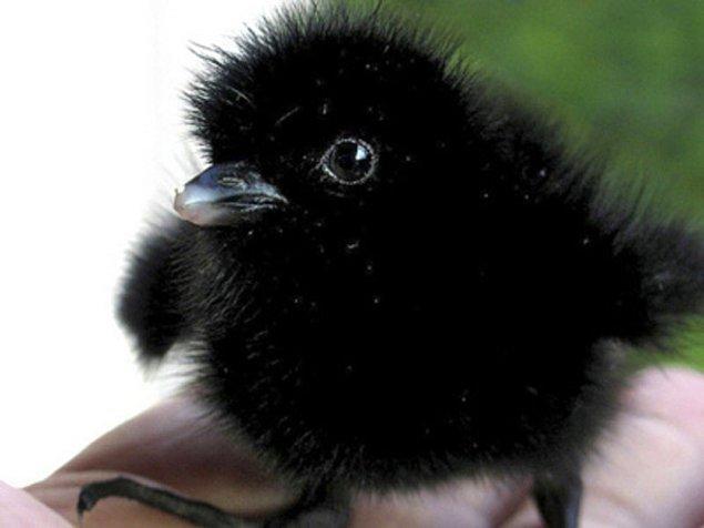 13. Bebek Su Tavukları