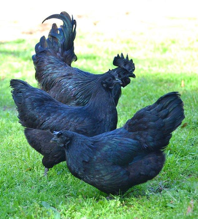 4. Ayam Cemani