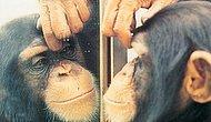 Varlığının Farkında Olan Tek Canlının İnsan Olmadığının Kanıtı: Ayna Testi