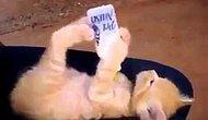 Biberonla Süt İçen Sevimli Yavru Kedi