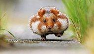 Baktığınız Zaman Sizi Tatlılık Komasına Sokabilecek Birbirinden Sevimli 36 Hamster